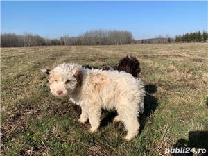 Lagotto Romagnolo - imagine 3