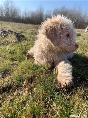 Lagotto Romagnolo - imagine 10