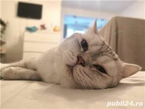 British shorthair tabby - imagine 5