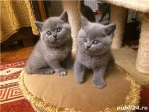 Pui british shorthair - imagine 1