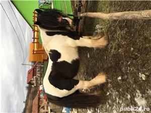 Armasar Gypsy Vanner  - imagine 1