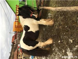 Armasar Gypsy Vanner  - imagine 4