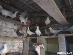 porumbei postasi albi - imagine 4
