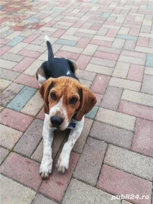 Beagle pentru montă - imagine 3