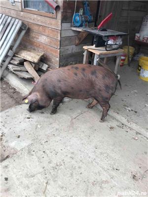 Soldani purcei porci - imagine 8