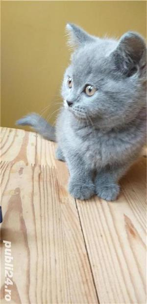 British shorthair blue. Rasă pură.  Doar poze reale! - imagine 4