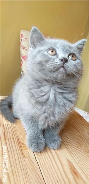 British shorthair blue. Rasă pură.  Doar poze reale! - imagine 1