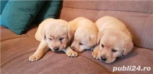Labradori superbi asigur transport  - imagine 1