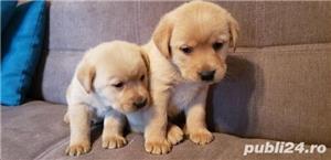 Labradori superbi asigur transport  - imagine 2