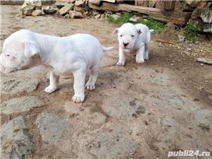 Catei Dog Argentinian - imagine 2