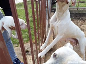 Catei Dog Argentinian - imagine 3