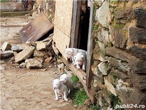 Catei Dog Argentinian - imagine 1