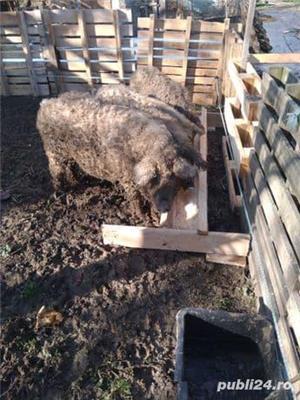 Afacere porci mangalița - imagine 1