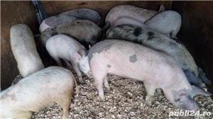 Purcei grasuni porci - imagine 3