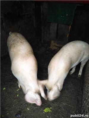 Porci de vânzare  - imagine 3