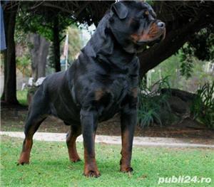 Rottweiler rasă pură  - imagine 1