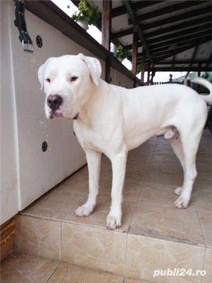 Dog argentinian pt monta - imagine 5
