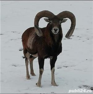 Vanzari mufloni -berbeci de rasa  - imagine 1