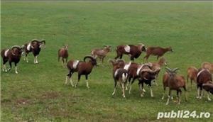 Vanzari mufloni -berbeci de rasa  - imagine 5