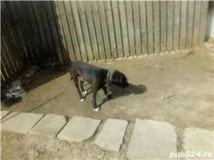 Donez Amstaff bull terrier f.f. urgent - imagine 2