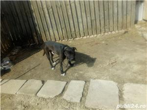 Donez Amstaff bull terrier f.f. urgent - imagine 5