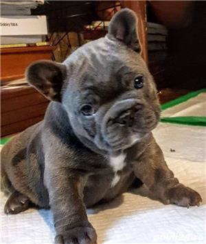 Pui din rasa bulldog buldog francez albastru gri blue - imagine 1