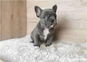 Pui din rasa bulldog buldog francez albastru gri blue - imagine 4