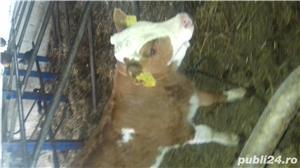 Viței de lapte  - imagine 2
