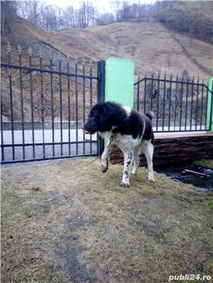 Ciobanesc de Bucovina - imagine 2