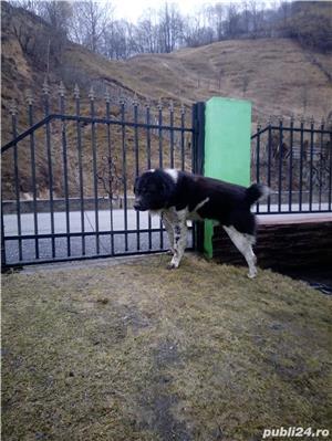Ciobanesc de Bucovina - imagine 5