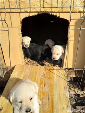 catelusi Labrador - imagine 4