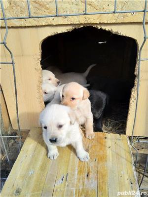 catelusi Labrador - imagine 5