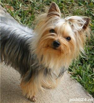 Yorkshire terrier monta  - imagine 3