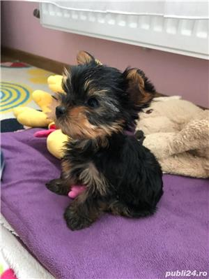 Yorkshire terrier monta  - imagine 2