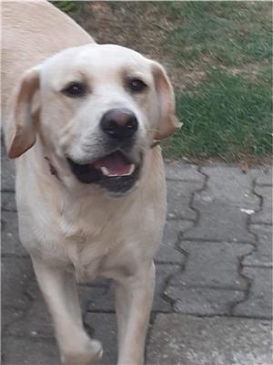 Ofer Labrador auriu pentru monta - imagine 2