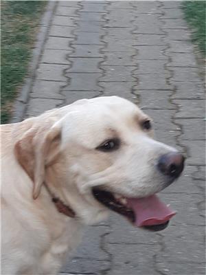 Ofer Labrador auriu pentru monta - imagine 3