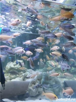 Pui Aulonocara firefish red dragon - imagine 3