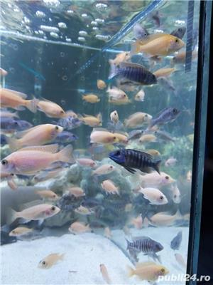 Pui Aulonocara firefish red dragon - imagine 4
