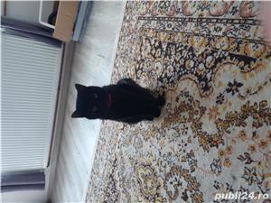 Pisic spre adoptie - imagine 1