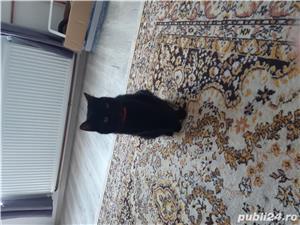 Pisic spre adoptie - imagine 2