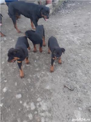 Catei Rottweiler - imagine 1