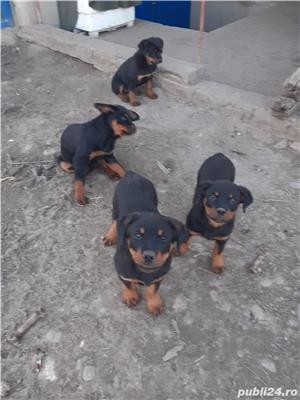 Catei Rottweiler - imagine 4