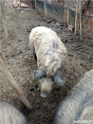 Porci mangalita - imagine 1