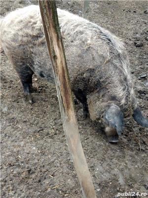 Porci mangalita - imagine 3