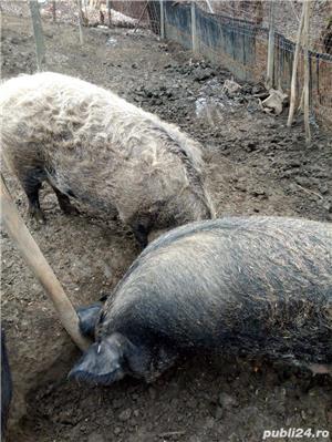 Porci mangalita - imagine 2