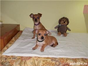 Pinscher pitic - imagine 1