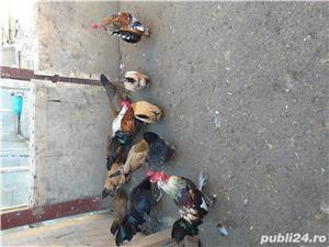 Găini italiene  - imagine 1