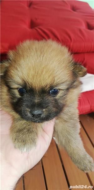 Pomeranian Spitz - imagine 2