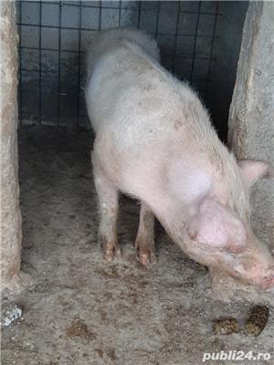 vand vier de rasa..porc - imagine 3