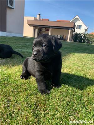 Catei Labrador cu pedigree tip A - imagine 1